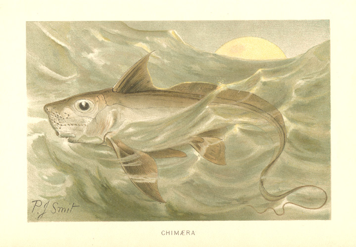Chimaera, Ghost Shark or Rat Fish antique lithograph c1894.