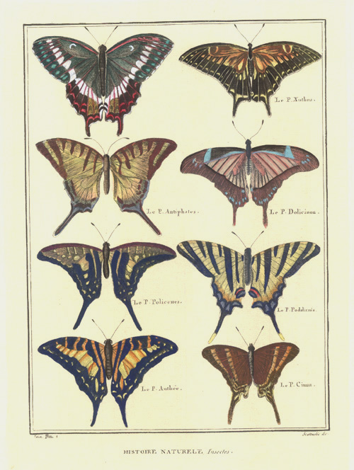 Spectacular Greek-named Bird-winged Butterfles. Le Papillon Xuthus, Antiphates..