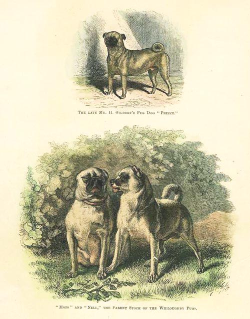 "Three fine Pug Dogs. ""Prince"", ""Mops"" & ""Nell"" c1889."