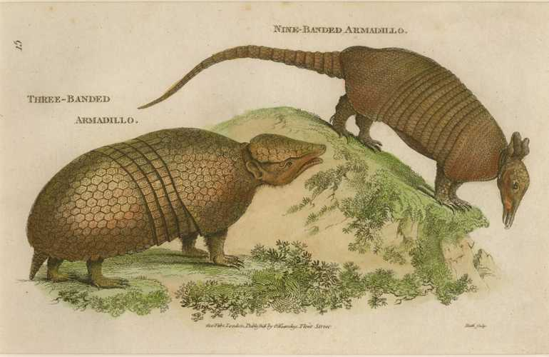 George Shaw Armadillo. Three-banded Armadillo and Nine-Banded Armadillo c1805