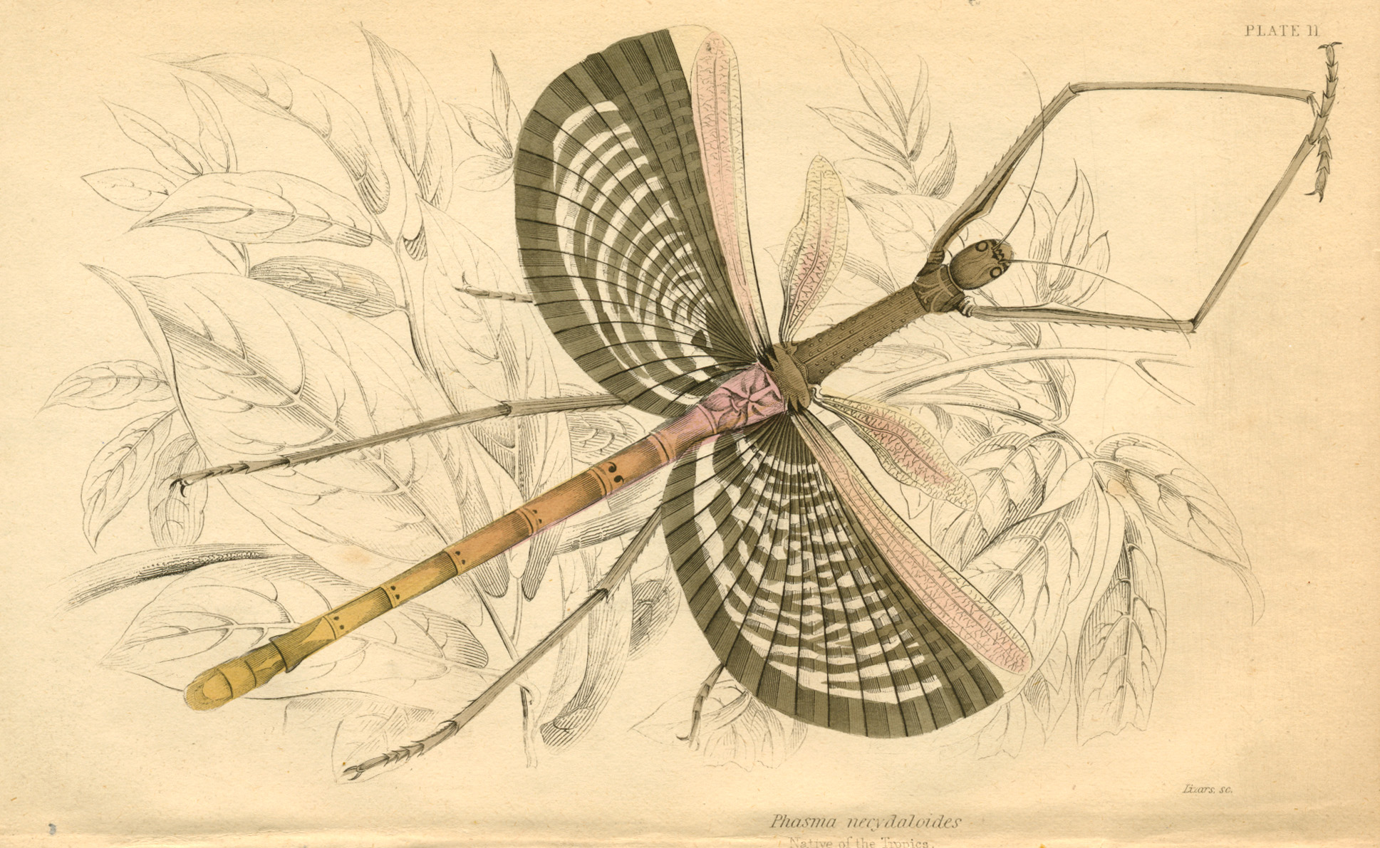Stick Insect, Phasma necydaloides fine hand-coloured steel engraving c1840.