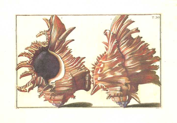 Gualtieri Shells Plate 38, small conchology print