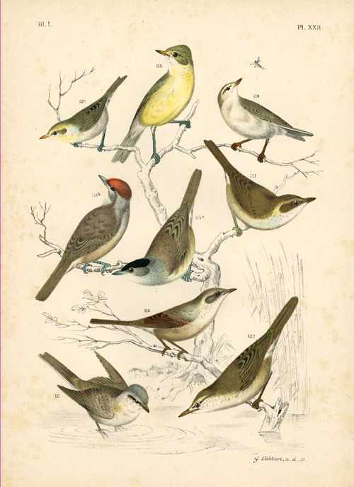 Nuyens. Lithograph of Birds. By Lubbert for Nuyens c1886