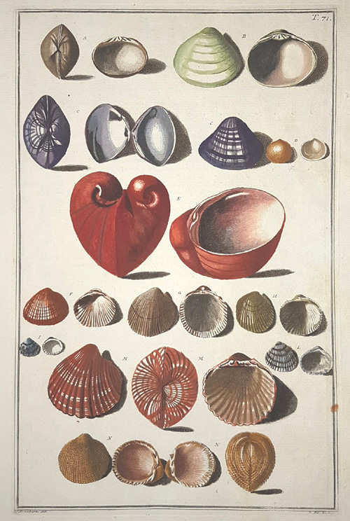 Beautiful Bivalve Shells antique print. Gualtieri 71 c1748.