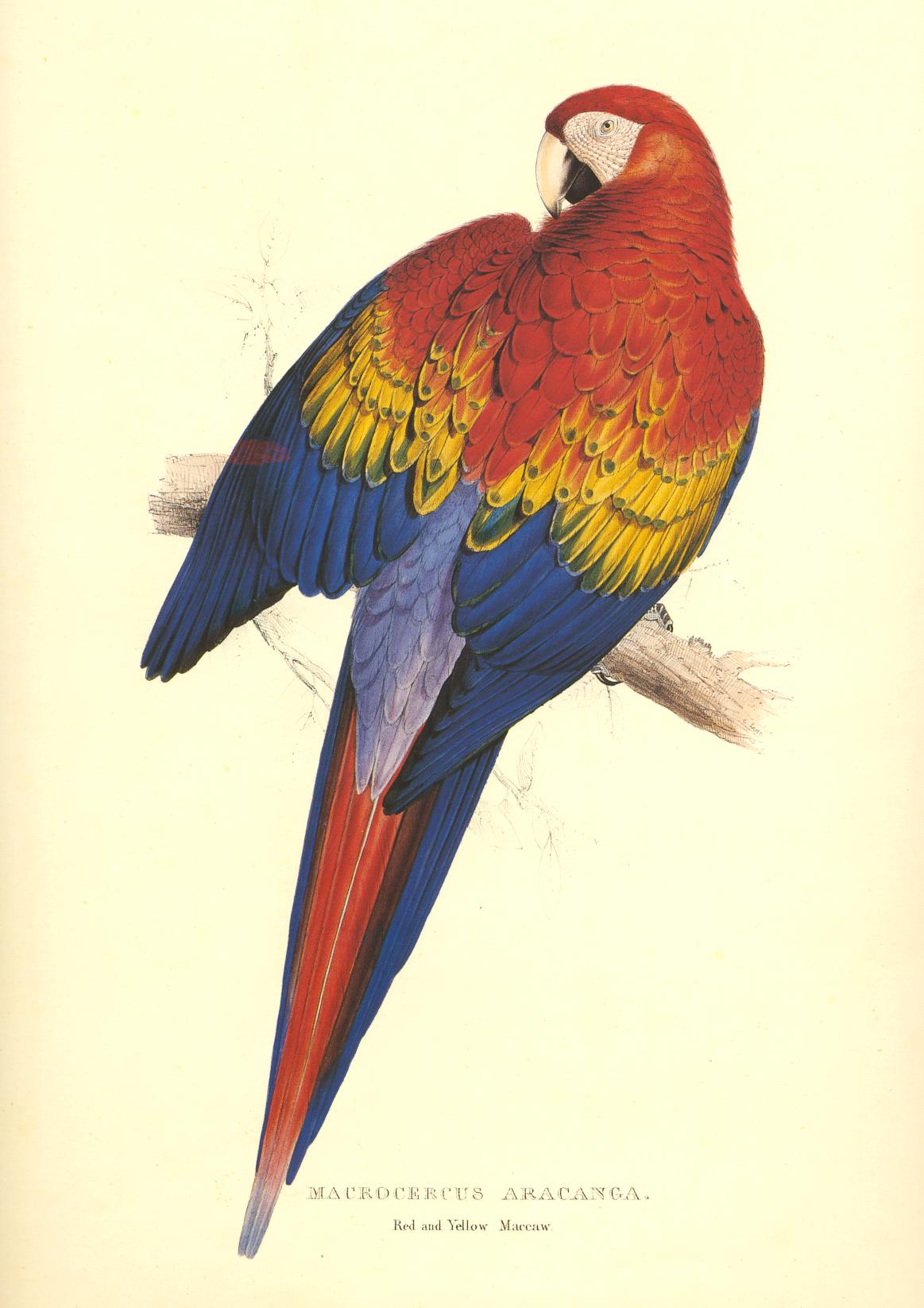 Edward Lear Parrot. Red & Yellow Maccaw Macrocercus aracanga Limited Edition print