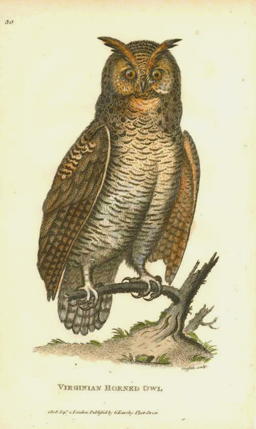 George Shaw Virginian Horned Owl original antique print c1808