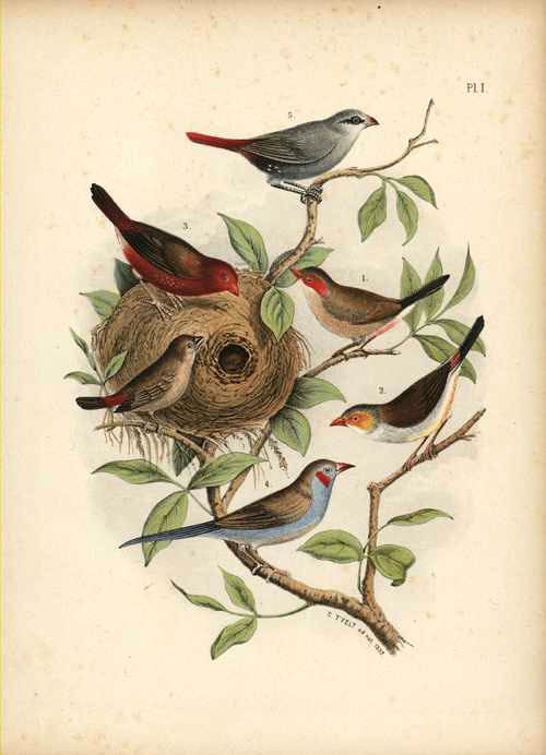 Nuyens. Finches with Nest. Lithograph for Nuyens by T'Felt c1882