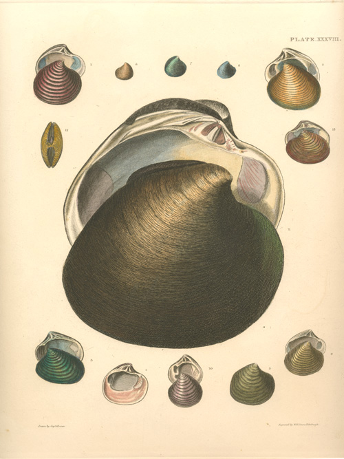 Great graphic of Bivalve Shells, engraved by WH Lizars c1845.