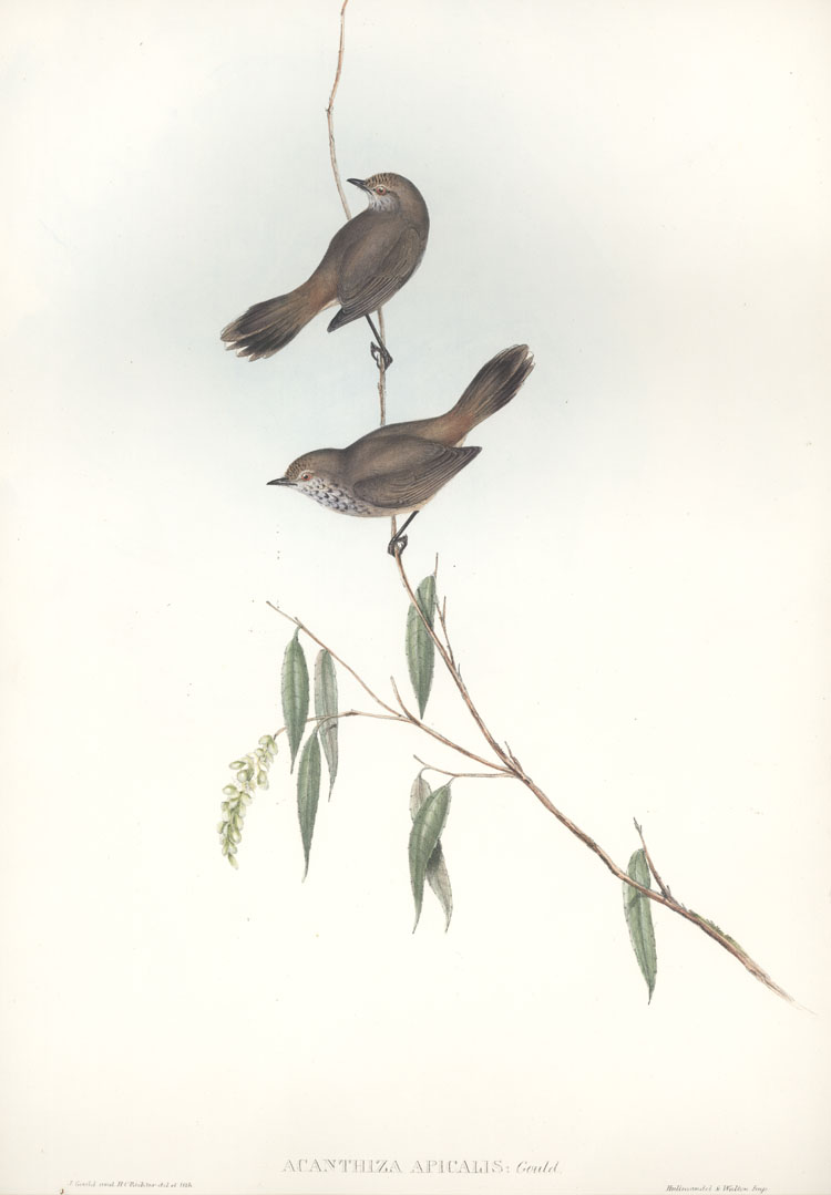 Australian Western Thornbill Acanthiza apicalis John Gould lithograph c1848