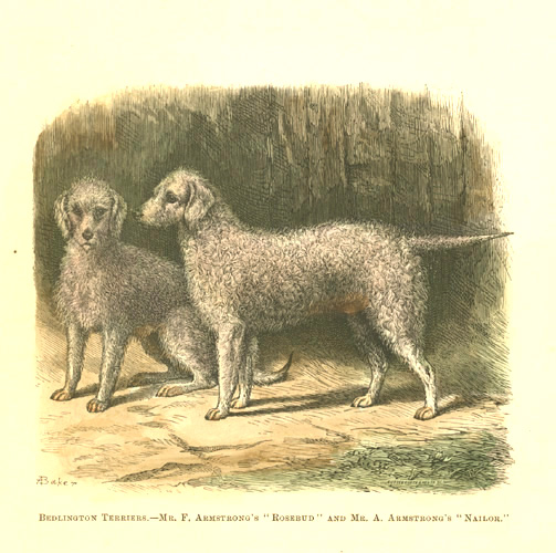 "Bedlington Terriers ""Rosebud"" and ""Nailor"" antique engraving c1878."