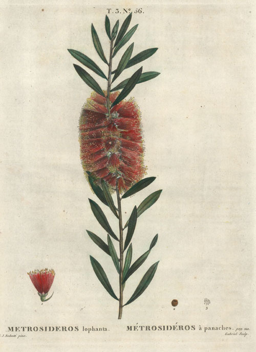 "Redouté Australian Bottlebrush antique engraving of Metrosideros lophanta ""bottlebrush"". Redoute c1800."