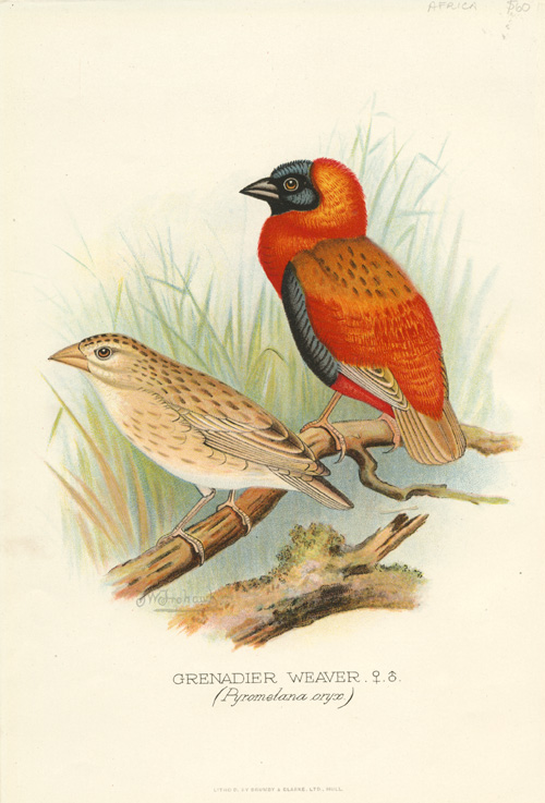Male and female Grenadier Weaver (Pyromelana oryx) c1896