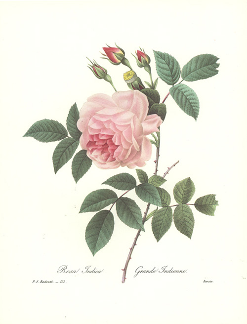 Redouté Rosa Indica. Grande Indienne. Reproduction Rose Print