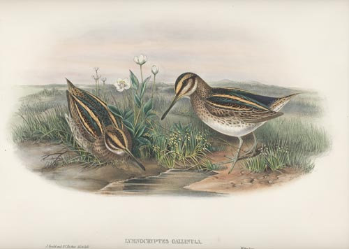 Jack Snipe, Lymnocryptes Gallinula, John Gould Birds of Great Britain c1862-1873