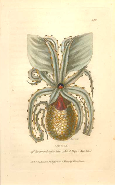 Paper Nautilus. Argonaut Octopus or Squid. George Shaw c1808