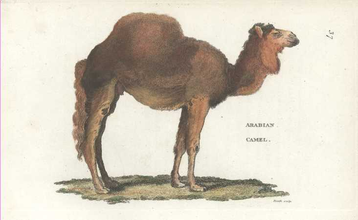 George Shaw Camel Antique Print by George Kearsley c1801.