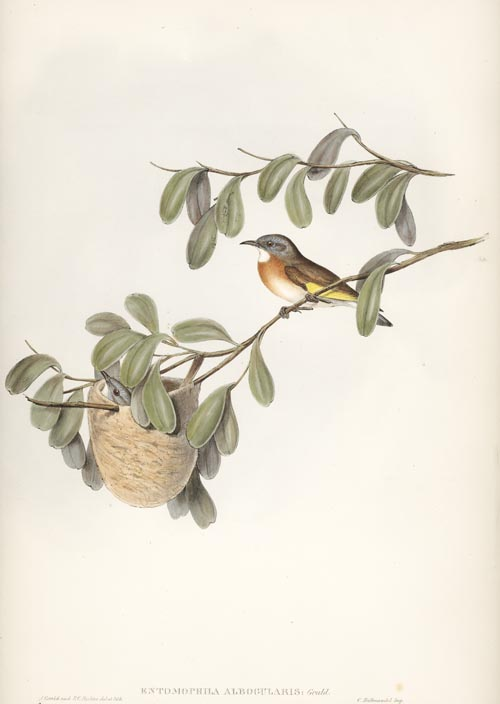 John Gould White-throated Honey-eater, Entomophila Albogularis lithograph c1848