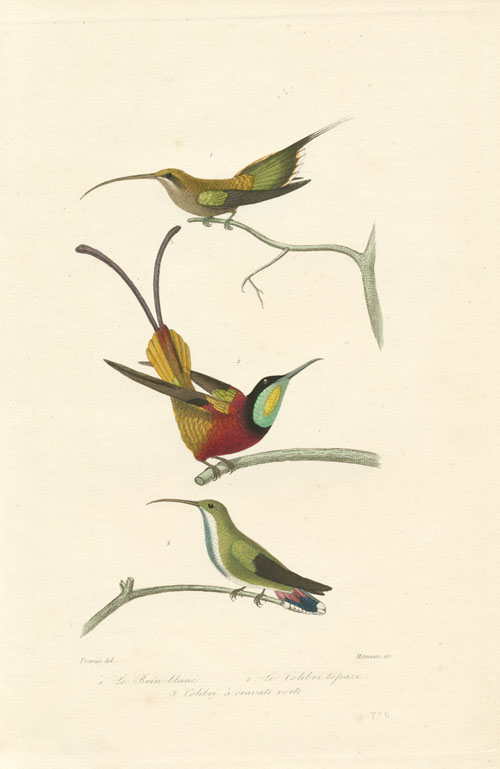 Exquisite Humming-birds engraving by Manceau after Travies. c1837
