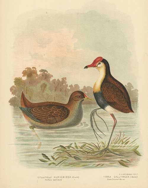Broinowski Australian Gallinule and Parra antique print c1890