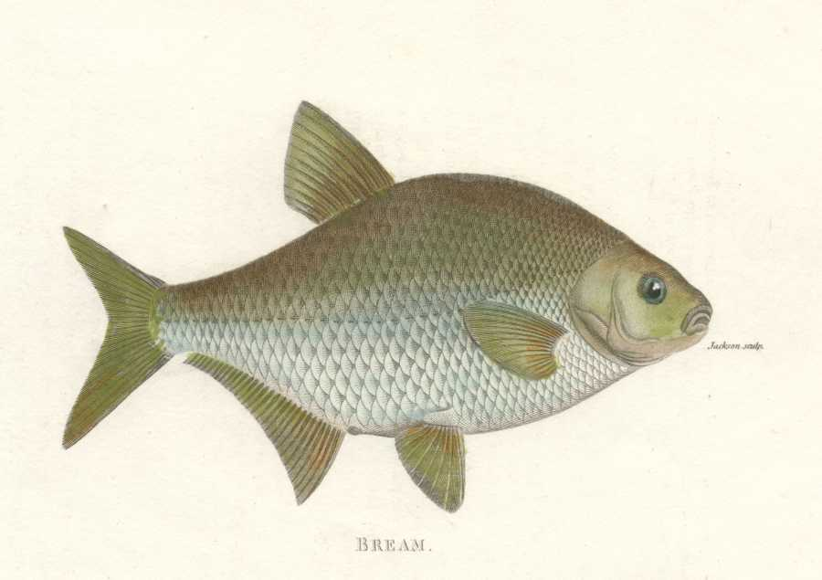Fish. George Shaw Bream. Beautiful hand-colored copper engraving c1804