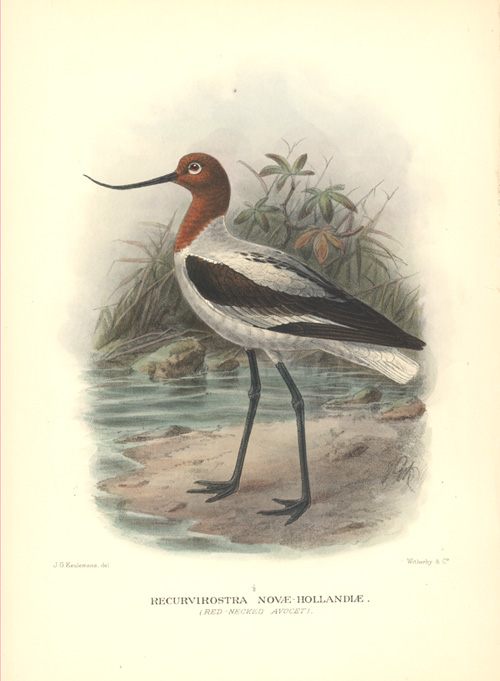 Keulemans Australian Red-necked Avocet, Recurvirostra Novae-Hollandiae. Lithograph c1920.
