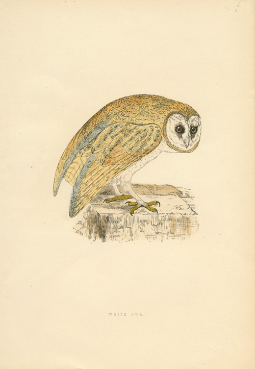 White Owl woodblock by Benjamin Fawcett c1864.