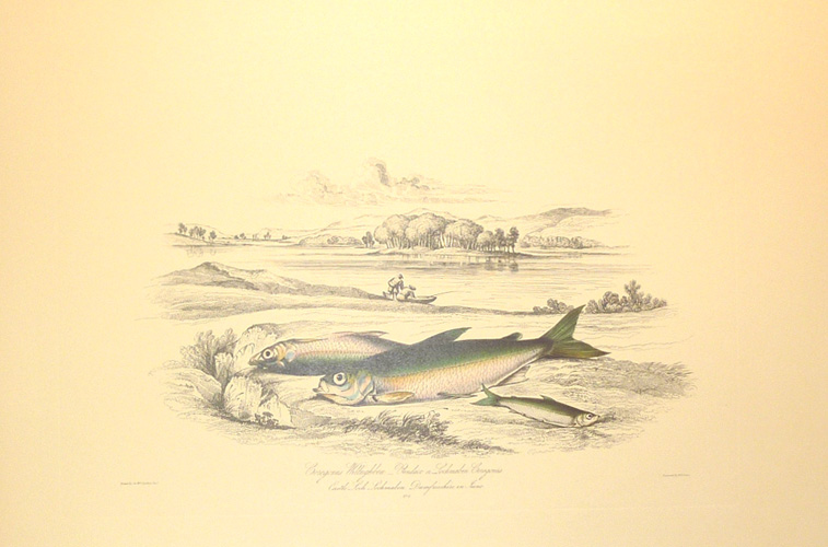 Freshwater Gwyniad or Vendace large Limited Edition print.