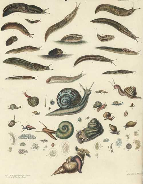 Slugs, snails, shell-carrying molluscs antique print engraved c1845