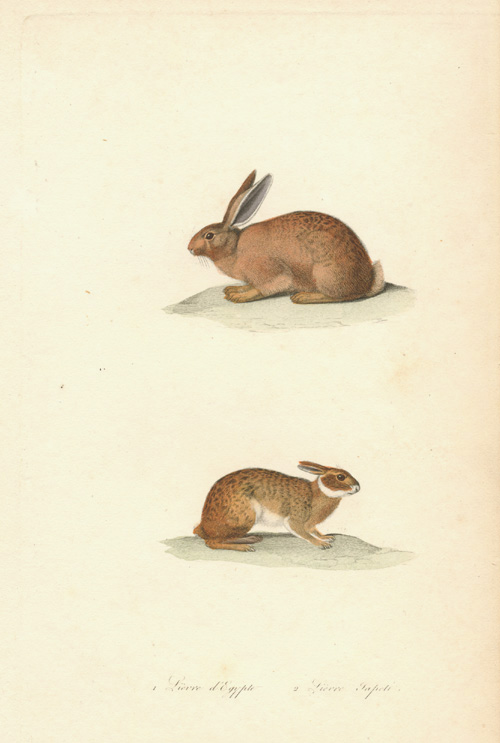 Fine antique engraving of a Rabbit and Hare, c1836.