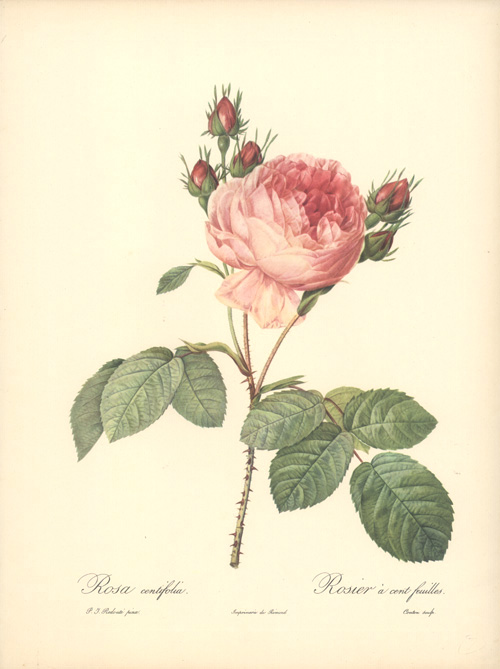 Rosa Centifolia. Rosier a cent feuilles. Hundred-petalled Rose.