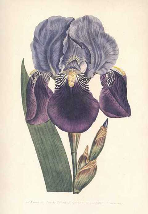 Purple Flag Iris. Heritage Editions Curtis Iris Germanica.