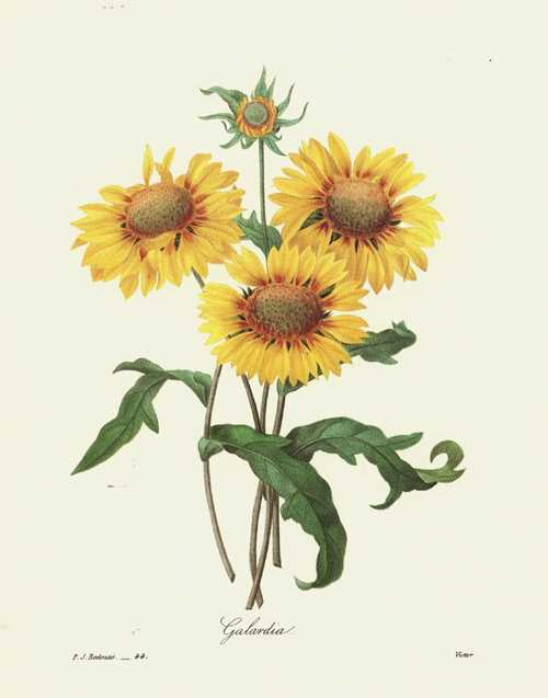 Redouté illustration. Galardia, Gaillardia or Blanket Flower print.