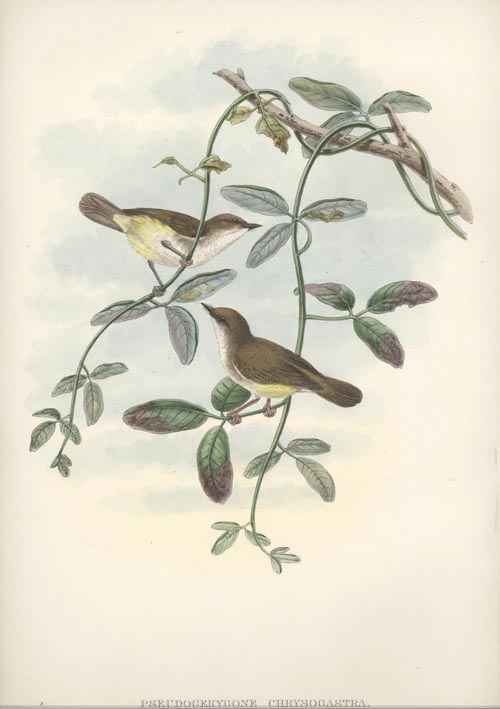 Pretty Yellow-bellied Flycatcher, Pseudogerygone chrysogastra Gould lithograph c1875.