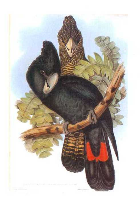 John Gould poster Birds print black cockatoo painting Vintage Old Australia