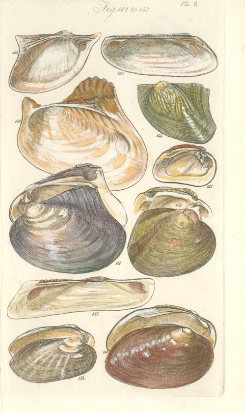 Sowerby Bivalves. Small shells engraving c1820.