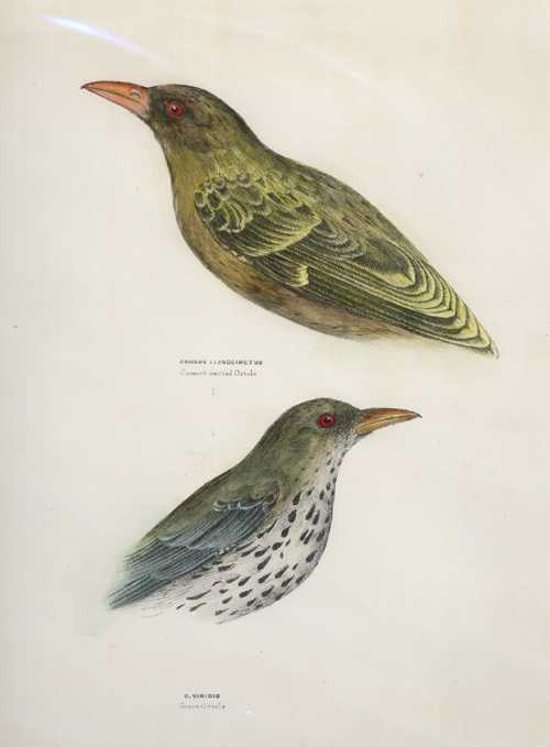 Diggles. Crescent-marked Oriole lithograph. Ornithology of Australia c1865.