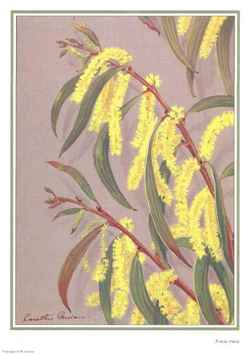 Australian Wattle print, Acacia crassa by Dorothy Gordon.