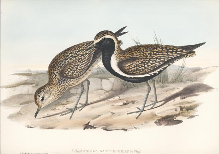 Pacific Plover. John Gould Golden Plover, Charadrius xanthocheilus lithograph c1848.