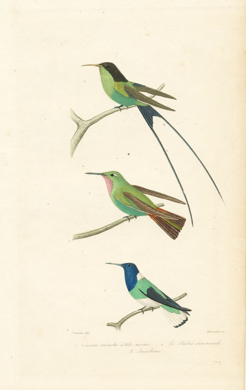 Fine antique hand-coloured engraving of little Humming Birds. c1837