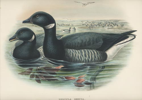 John Gould Brent Goose, Bernicla Brenta. Gould Birds of Great Britain c1870.