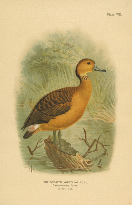 The Greater Whistling Teal. Dendrocycna fulva. Keulemans lithograph c1904.