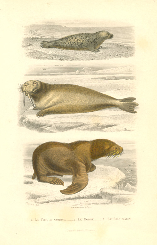 Le Phoque commun, Le Morse, Le Lion marin (Seal, Walrus, Sea Lion) c1855