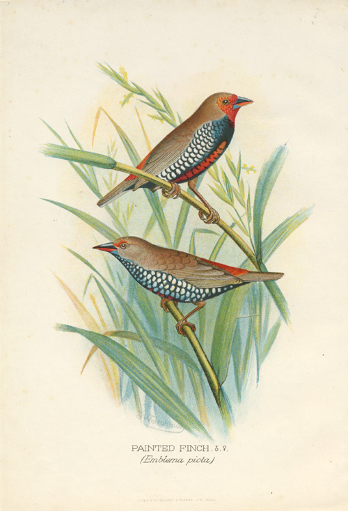 Australian Painted Finch (Emblema picta) Frohawk antique print c1896.