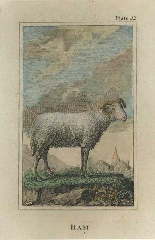 Buffon, Sheep Antique Print. Ram by Comte de Buffon, c1788.
