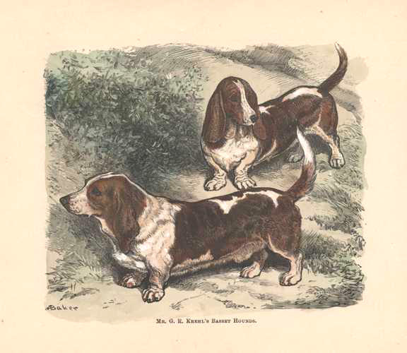Basset Hounds hand-colored antique print. Walsh c1878