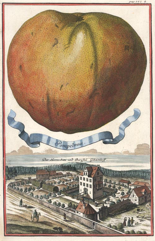 Volckamer Pompelmus. Grapefruit antique print engraved c1710.