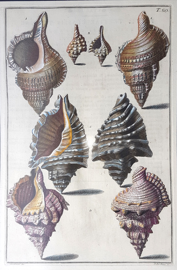 Grand Shells. fine hand-coloured engraving c1742. Gualtieri 50.
