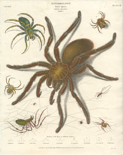 Spiders. Aranea Order of Entomology. Spider antique print c1808.