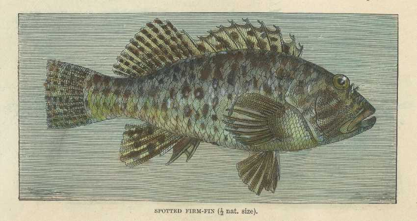 Fish. Antique Print of Spotted Firm-Fin. Lydekker engraving c1894