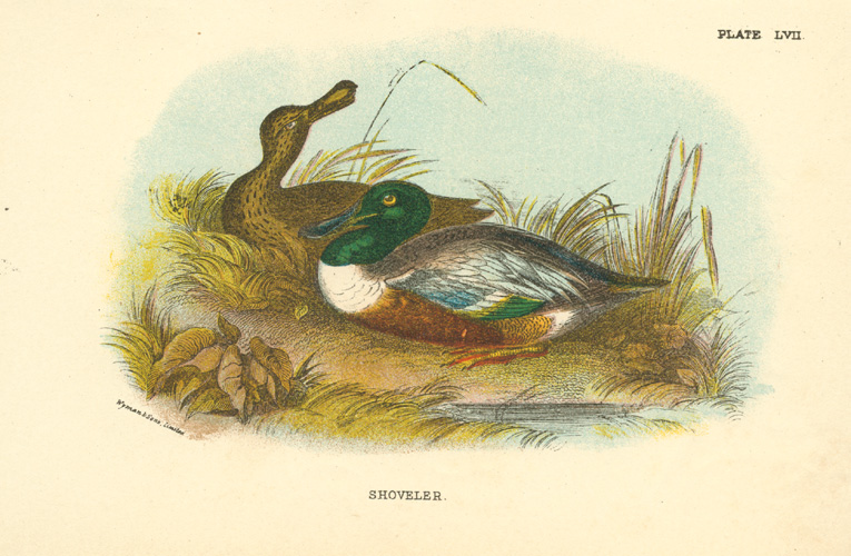 Small antique print of a Shoveller Duck c1897.